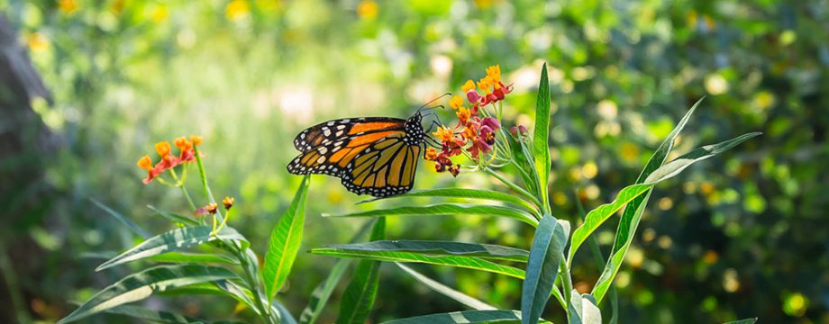Monarch Butterfly Garden Initiative